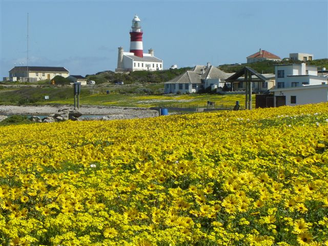 Spring daisies on the Agulhas waterfront